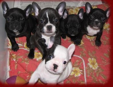 französische bulldogge welpen verschenken