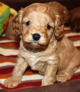 zuckers e minidoodle suchen ende februar neue familien hunde. Black Bedroom Furniture Sets. Home Design Ideas
