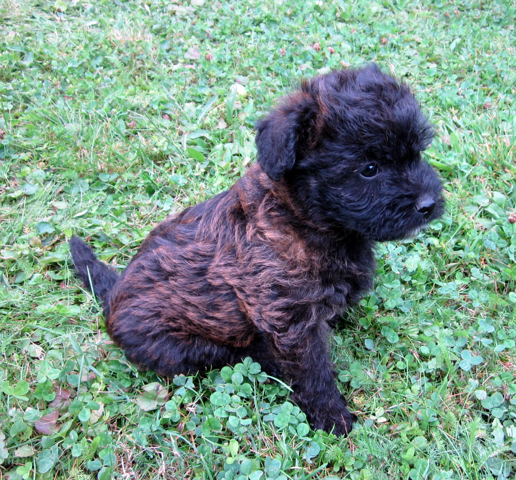 10 Wochen Alte Cairn Terrier Pudel Mix Hündin Zu Verkaufen Hunde
