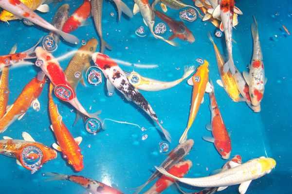 Tiere fische kleinanzeigen seite 2 for Teichfische versand