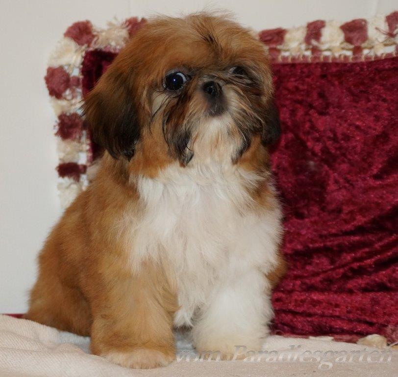 Shih Tzu - Eigenschaften, Details und Merkmale zum Lwenhund