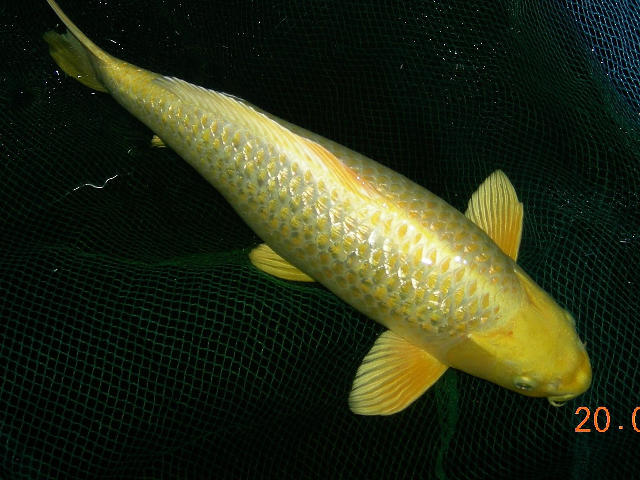 Koi zu verkaufen fische for Welche fische passen zu kois